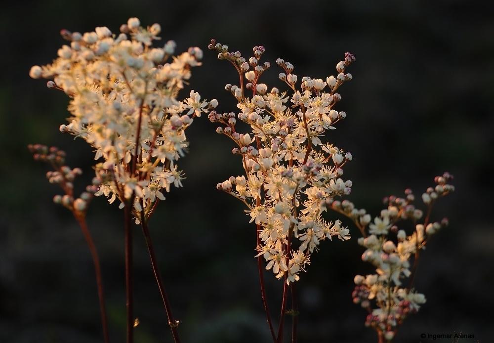 Brudbröd (Filipendula vulgaris) Greby.
