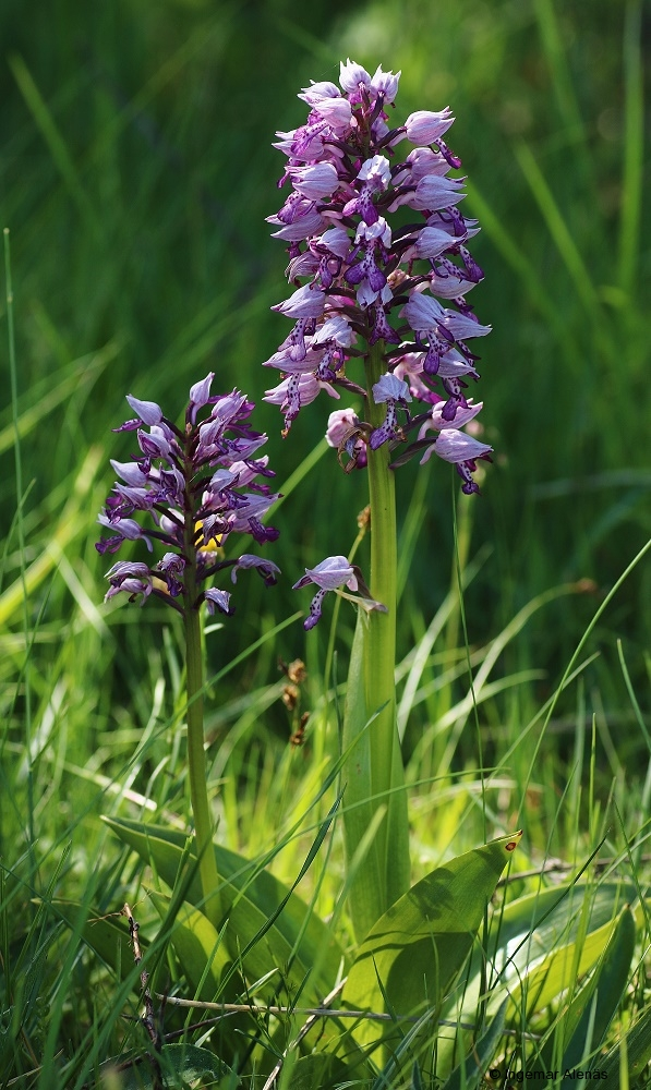 Johannesnycklar (Orchis militaris) Hörninge mosse