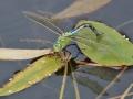 Blå Kejsartrollslända (Anax imperator) äggläggande våtmark Jordtorpåsen.