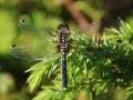Pudrad kärrtrollslända (Leucorrhinia albifrons) Hörninge mosse.