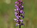 Brudsporre (Gymnadenia conopsea) Hörninge mosse.