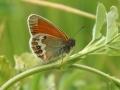 Pärlgräsfjäril (Coenonympha arcania) Rönnerum-Abbantorp.