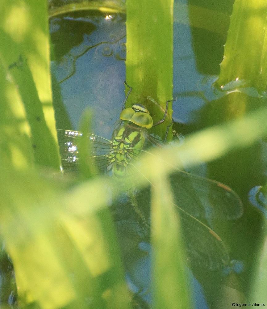 Grön mosaikslända IMG_7631.JPG